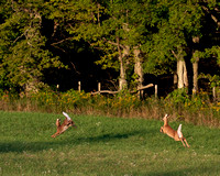 Deer_1Sept2012_Farm_1905