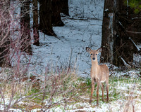 Deer in the Pines Apr 2015.jpg
