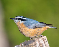 Red_Breasted_Nuthatch-0148