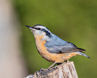 Red_Breasted_Nuthatch-0150