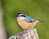 Red_Breasted_Nuthatch-0146
