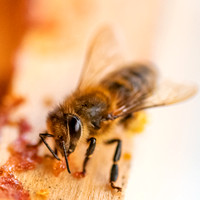 Bees_and_Wasps-6055