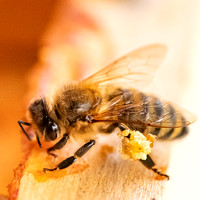 Bees_and_Wasps-6060