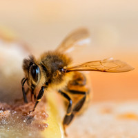 Bees_and_Wasps-6114