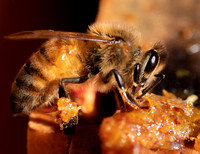 Bees_and_Wasps-6132
