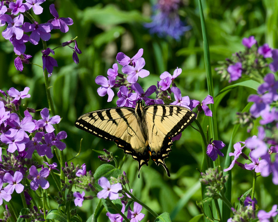 Eastern_Tiger_Swallowtail_1651