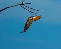 Red_Tailed_Hawk_web
