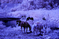 Horses_Cows_in_IR_0185