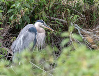 Great Blue Heron-1414
