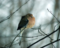 MourningDove_2005_Feb19_05