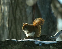 Red_Squirrel_05