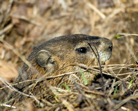 Groundhog_closeup