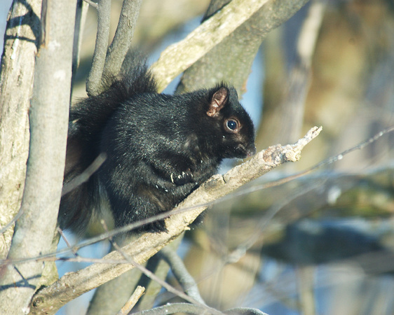Black_Squirrel_Mar9_05_0005